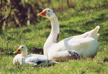 Eenden - ganzen